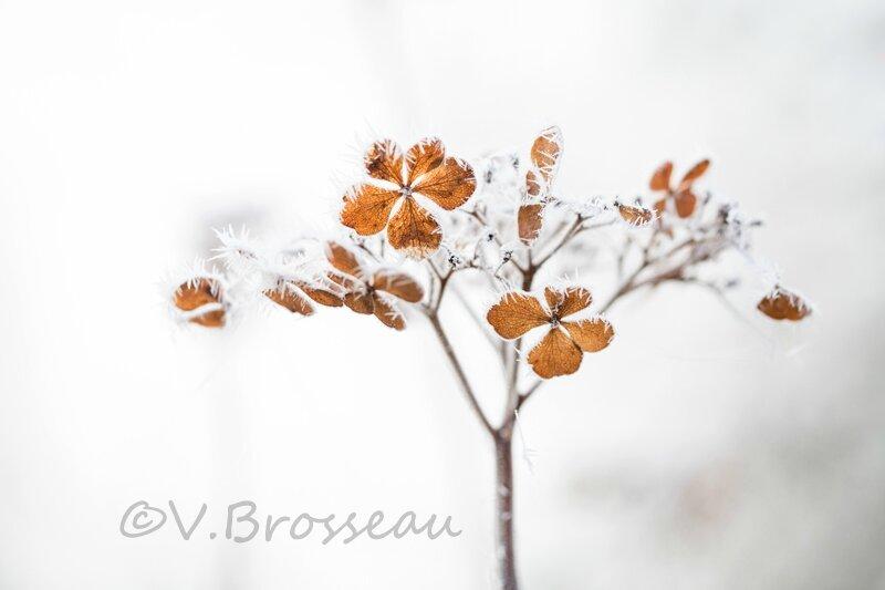 hortensia-hiver-15-01