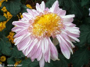 Chrysanthemes_9