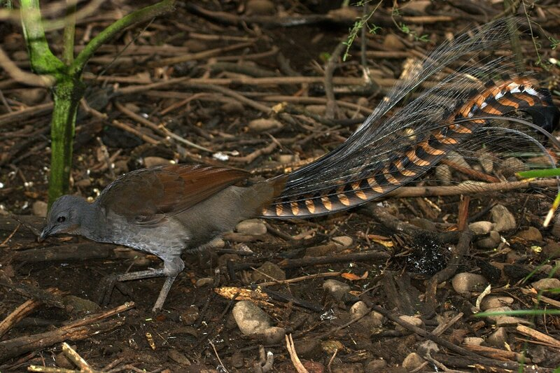 CSIRO_ScienceImage_10357_Superb_Lyrebird_Mt_Buffalo_Victoria