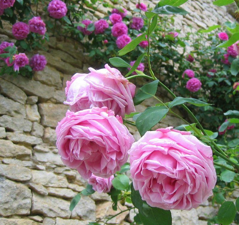 rose ancienne 39 mme caroline testout 39 photo de roses anciennes buissons mon jardin de. Black Bedroom Furniture Sets. Home Design Ideas