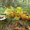 feuilles de chène