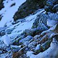 lagopéde alpin 26