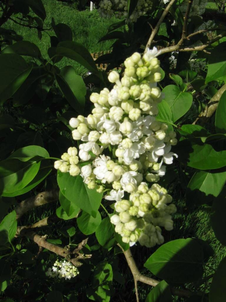 Pommiers Lilas Cytise Weigelias Ou Cornus Sont En Fleurs Mais L