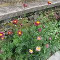 2008 06 11 Mes fleurs de Pyrèthres de Robinson