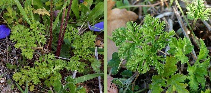 feuilles radicales pétiolées tripennées découpées en lanières