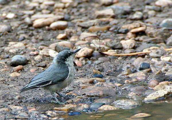 pygmy_Nuthatch
