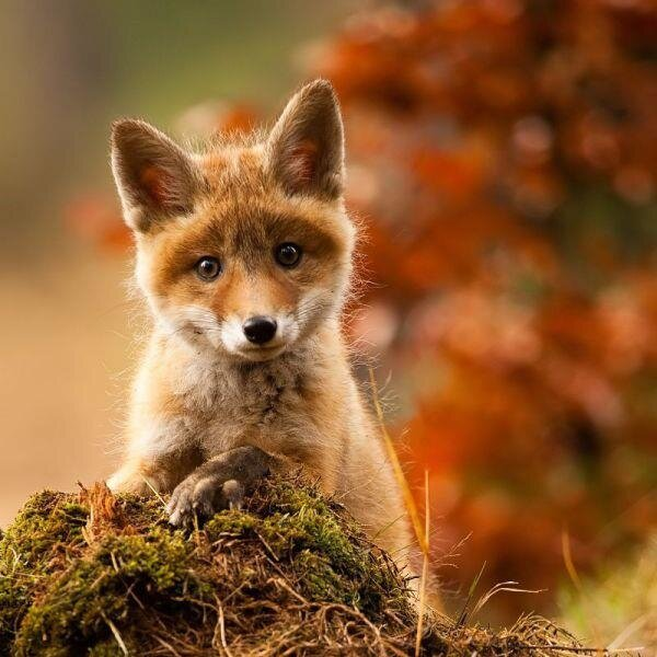 Sweet_Face_Foxy_Fox__Beautiful_But_Sad____Oh_He_Is_So_Adorable___Thank_You_For_This_Little_Fox___Is_