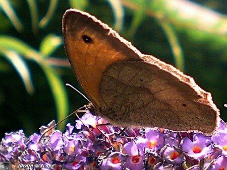 Papillon_Maniola_jurtina
