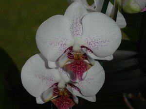 orchid_3103_011