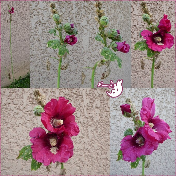 Rose tremiere 1