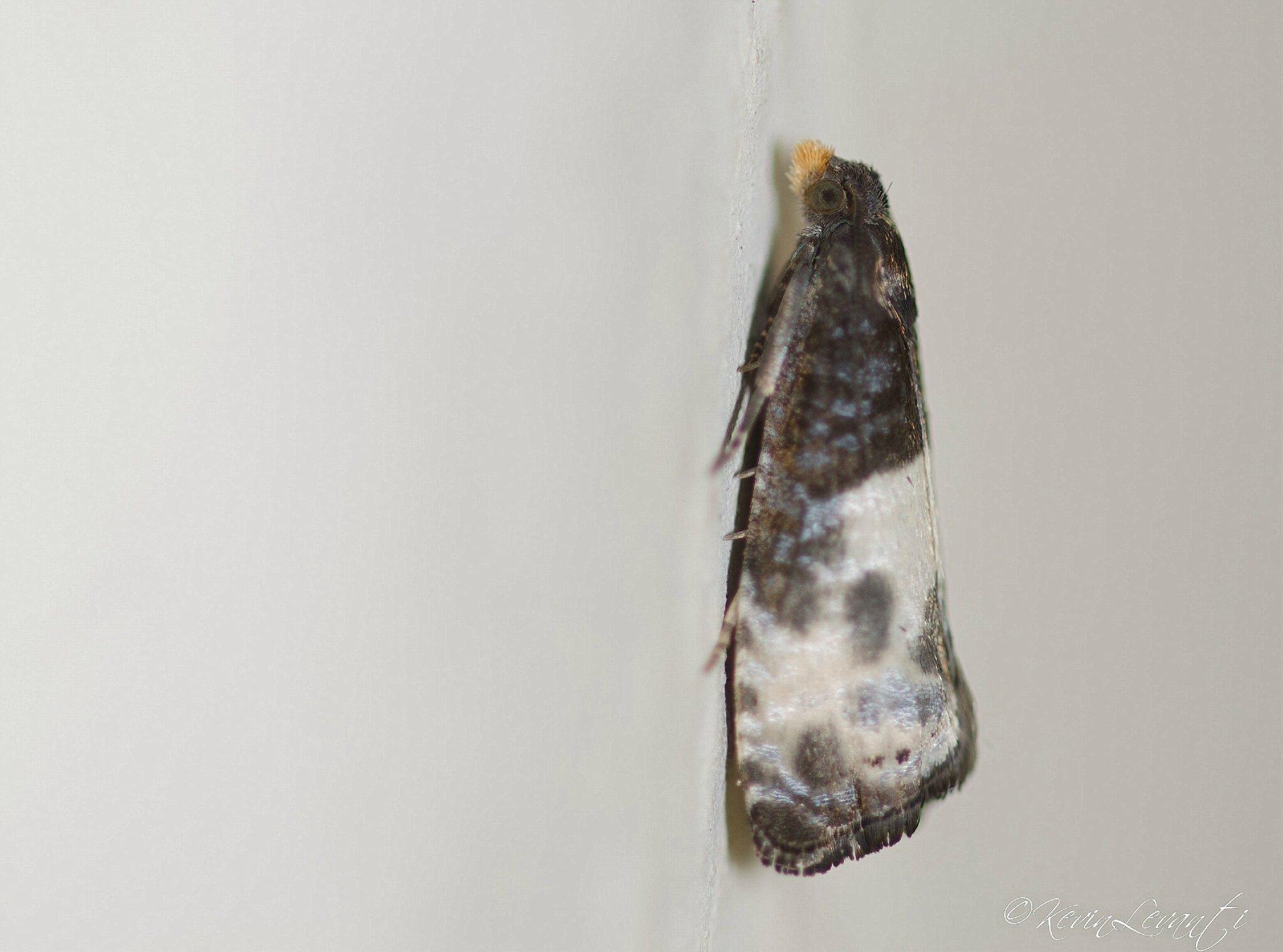 Notocelia cynosbatella