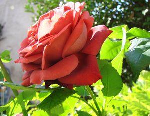 rose_terracotta