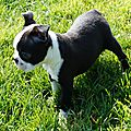 Ma petite Boston terrier