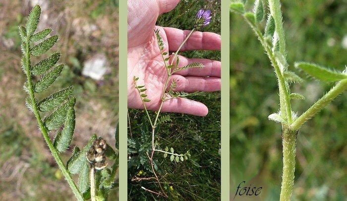feuilles imparipennées 7-12 folioles poilues sur les 2 faces stipules soudées