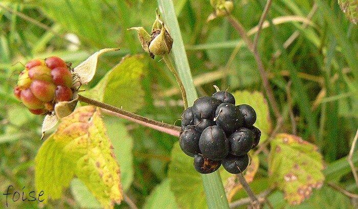 fruit composé de drupéoles bleuâtres