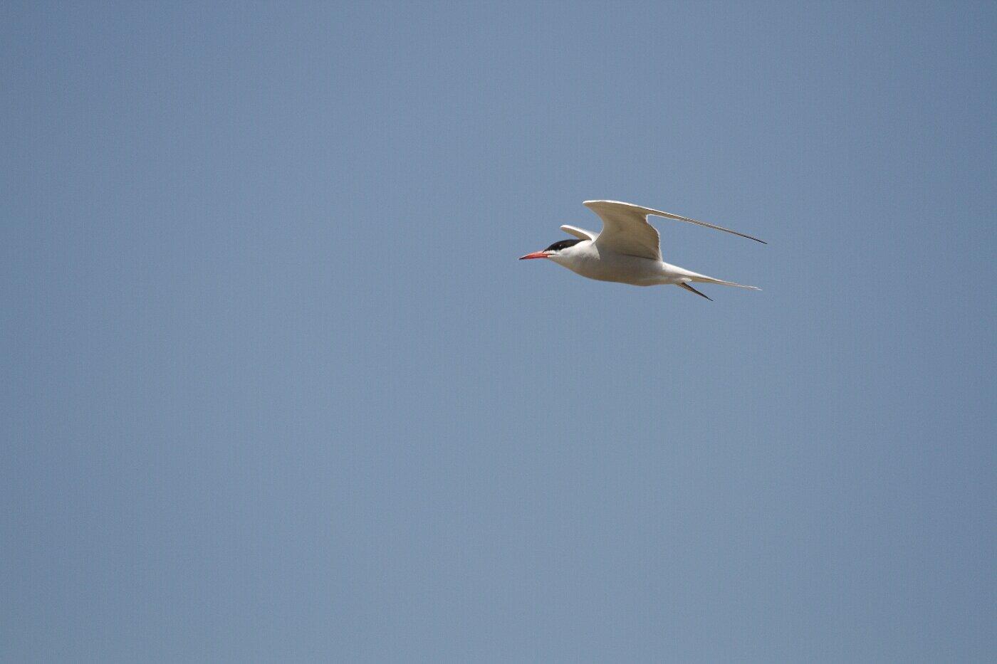 Lesbos oiseaux 08 - Sterne pierregarin