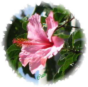 hibiscus_rose
