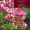 Les roses d'Eugène Turbat : 'Enfant d'Orléans'