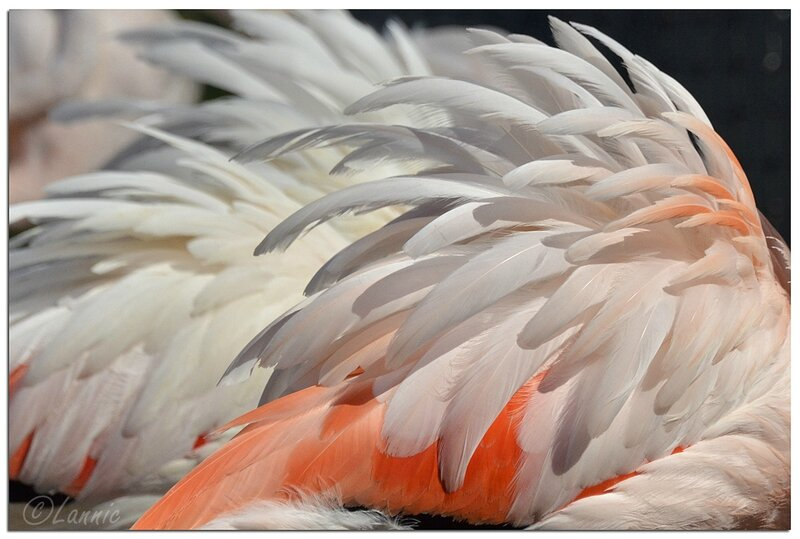Zoo_Vincennes_flamant_rose_3