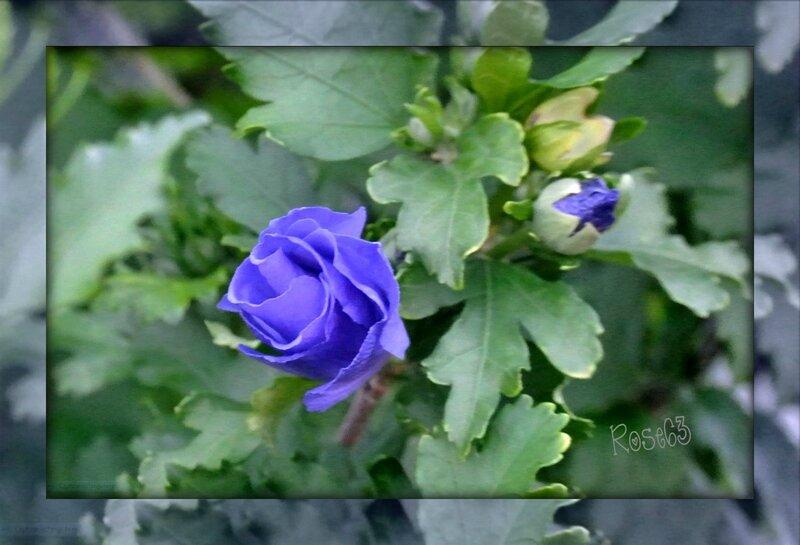 Dans mon jardin Juin 2017Rose63