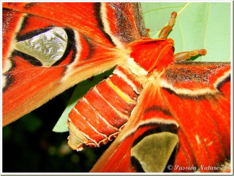 Papillon Attacus Atlas ou Bombyx Atlas (19)