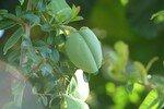 Fruit_du_st_phanotis