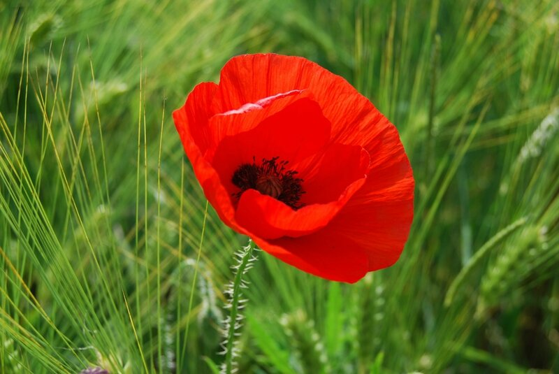 coquelicot - pinterest Alex