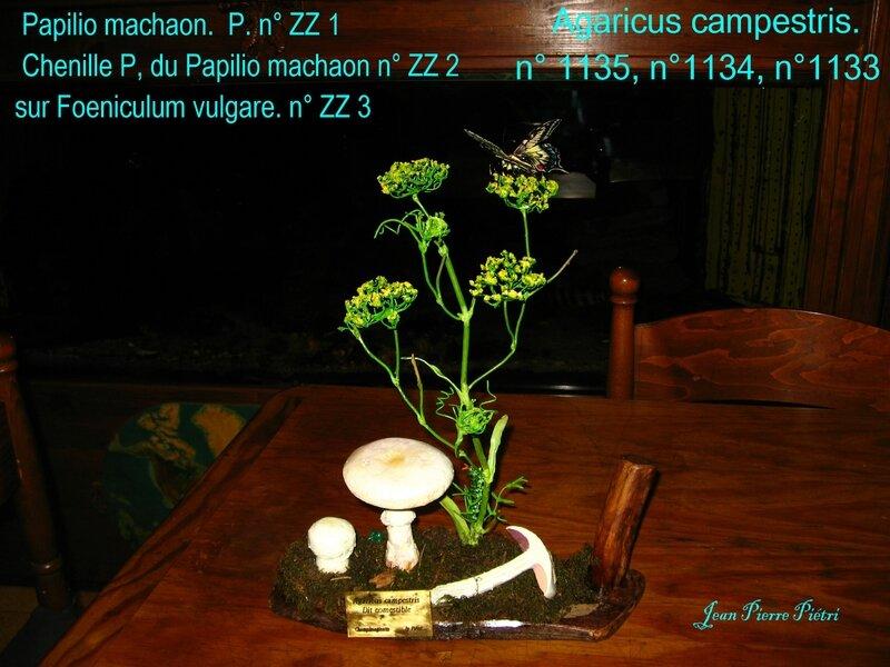 Agaic campestris, chenille et Machaon, foeniculum vulgare
