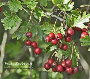 Aubépine fruits