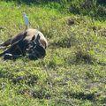 Buffle de taiwan/taiwanese water buffalo/台灣水牛