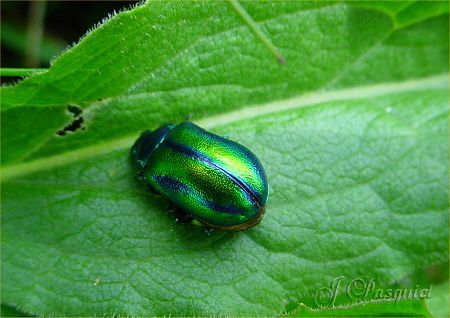 chrysolina