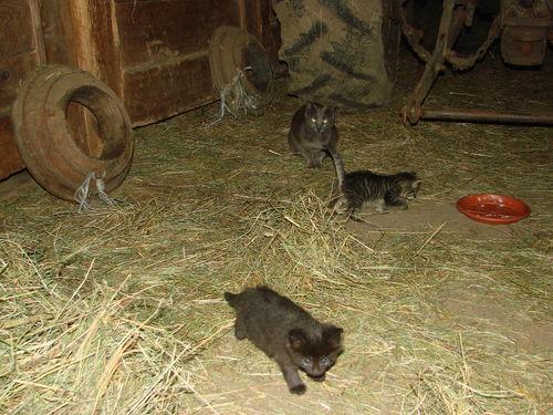 2008 06 18 Deux chatons avec leur mère dans notre grange