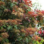 PHOTINIA_RED_RUBIN