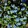 myosotis-bleu