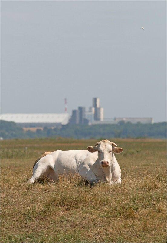 MS vache silos 140617