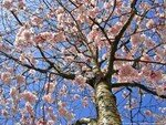 printemps_arbre_fleurs_4