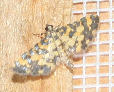 Eurrhyparodes tricoloralis