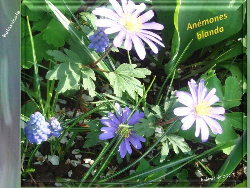 balanicole_2017_03_le printemps des vivaces_12_blanda4