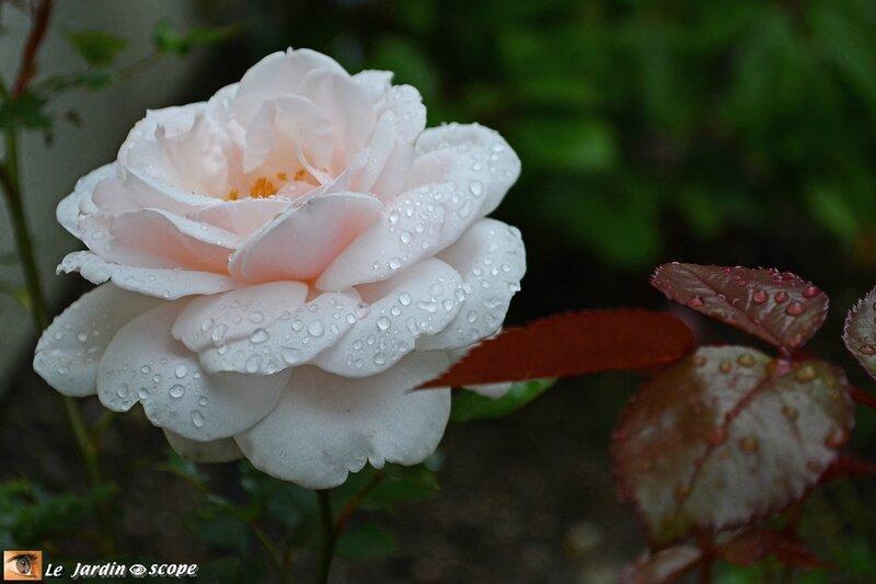 0567-Rose-Jardin-de-Granville