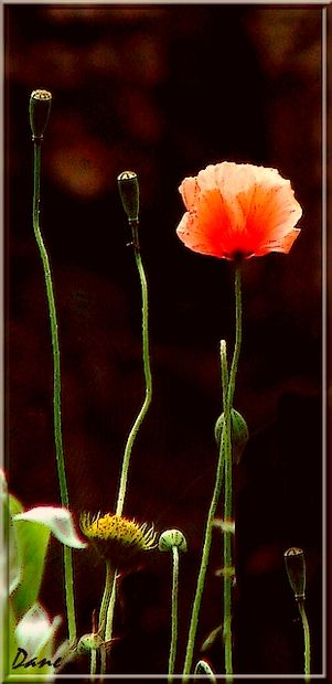 1_coquelicot_page