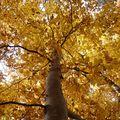 2009 10 31 Un Fayard (Hêtre) vu d'en bas à l'automne (3)