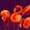 03B. Les Flamands rouge