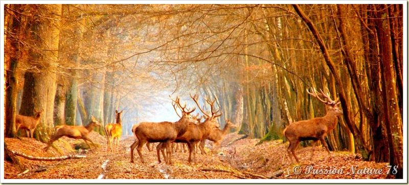 Le cerf (4)