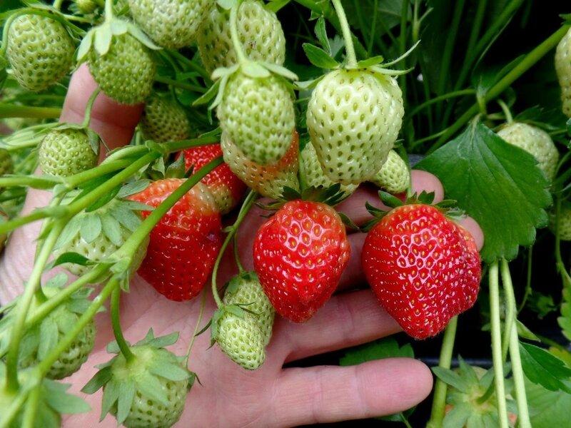 fraisiers pierre