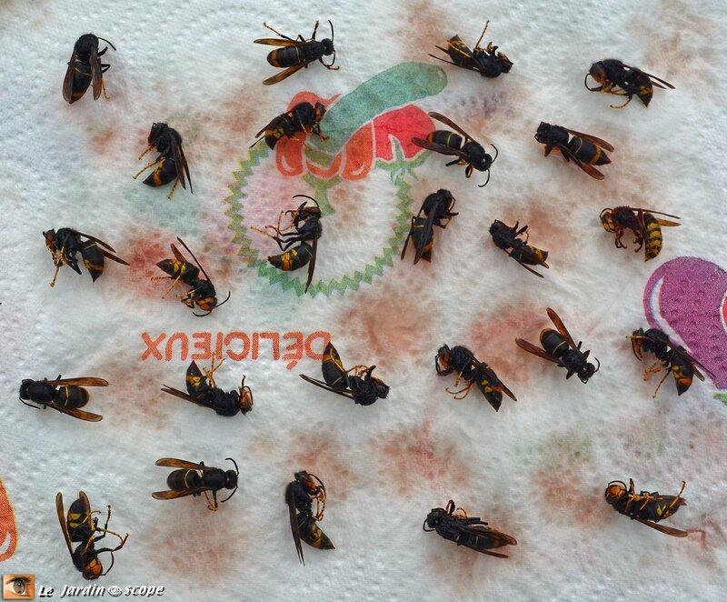 Frelons-asiatiques