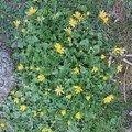 2008 04 21 Fleur jaune couvre sol, nom inconu