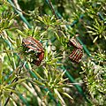 Punaise arlequin (Graphosoma italicum), sur ombellifère.