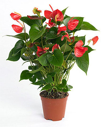 Anthurium plante d polluante decor 39 in id es conseils for Plantes depolluantes