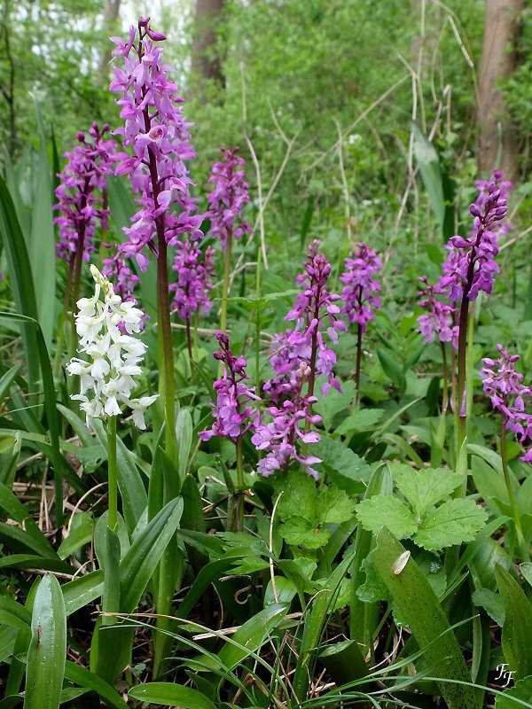 a2017_04_17_orchis_male_groupe