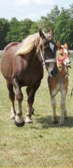Ferary du Boncoin et sa mère, Mirabelle du Boncoin - 16 Juin 2015 - Concours d'élevage local - Bourbourg